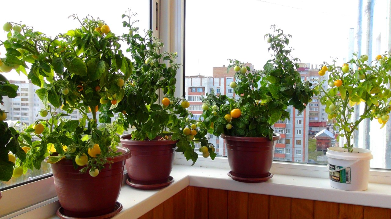 Помидоры на балконе - выращивание пошагово.