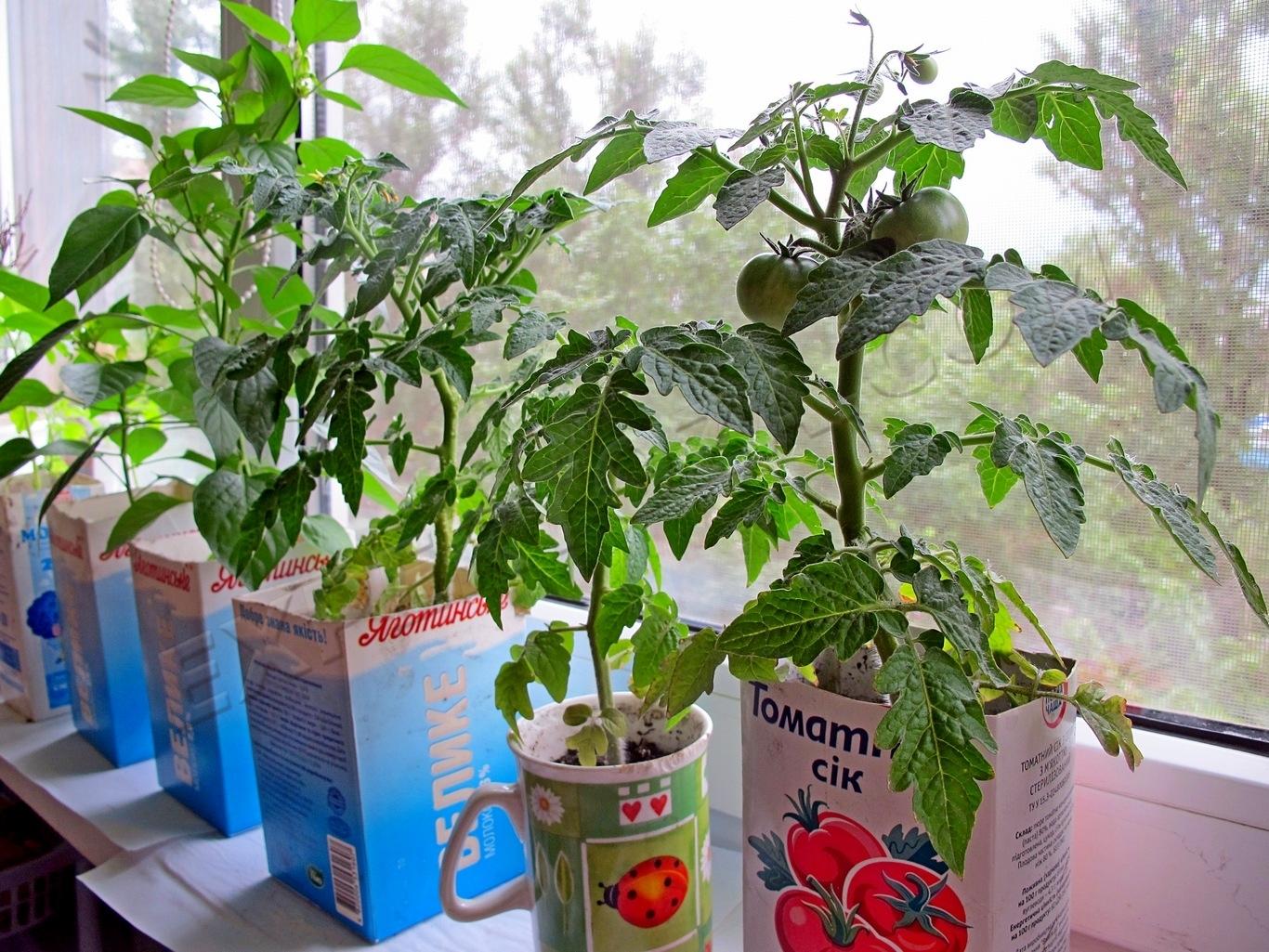 Молодые кусты помидор