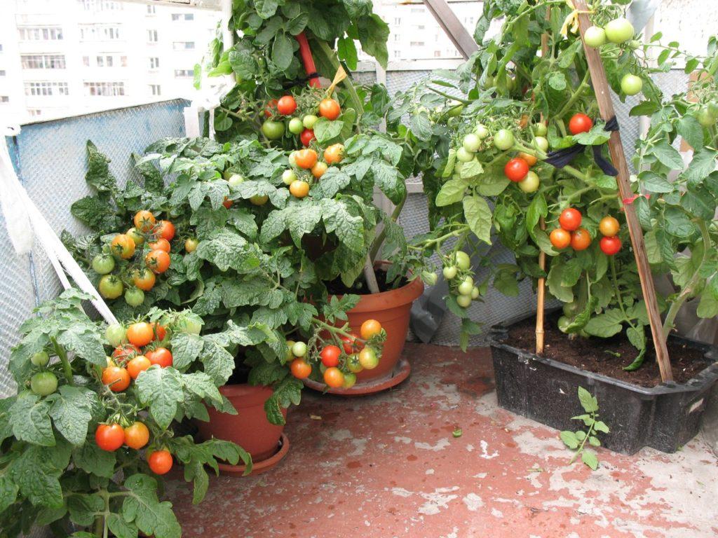 Помидоры балконное чудо выращивание дома зимой 50