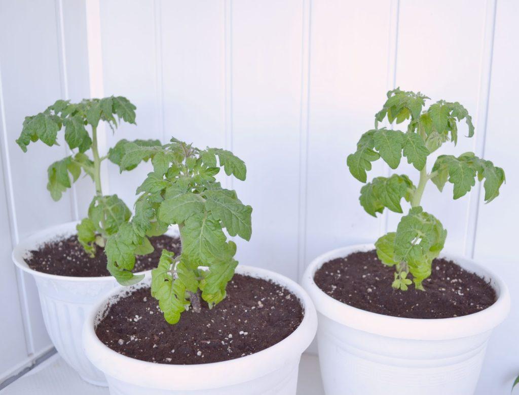 Помидоры на балконе : выращивание пошагово, как вырастить в домашних 42